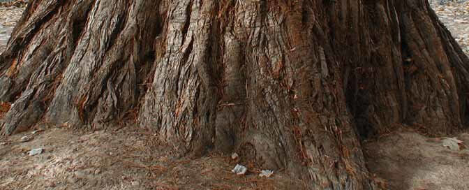 Großer Freudenbaum