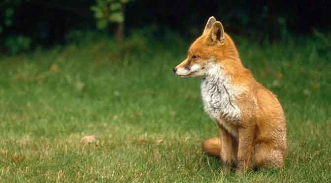 Kegelspiel Fuchsjagd
